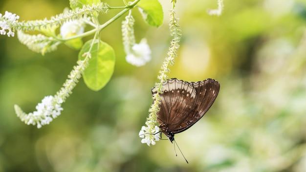 白い花の上の黒い卵蝶