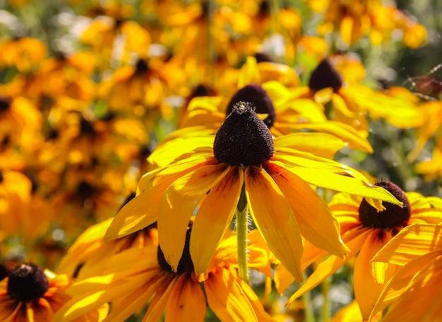 黒い瞳のスーザンまたはルドベキアヒルタ植物、茶色のベティ、グロリオサデイジー、黄金のエルサレム。
