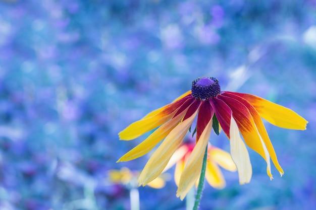 Black-eyed susan rudbeckia flower on blurred blue