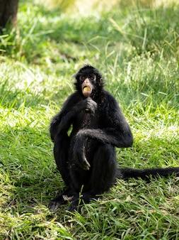 검은 얼굴의 검은 거미 원숭이 ateles chamek 종