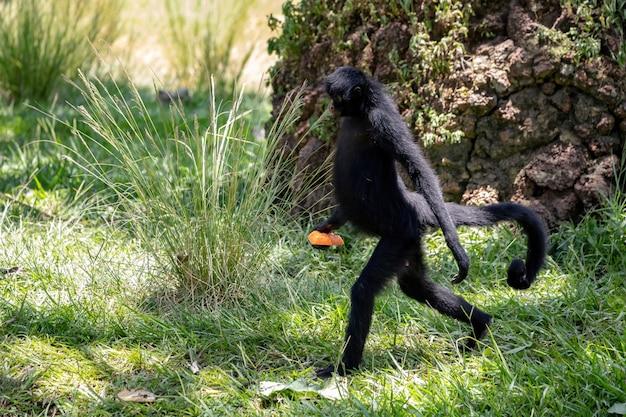 Black-faced black spider monkey of the species ateles chamek