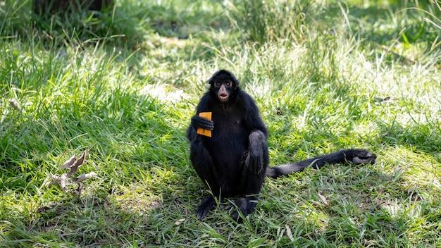 Black-faced black spider monkey of the species ateles chamek Premium Photo