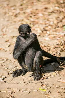 Yungas、コロイコ、ボリビアの黒い顔のクモザル
