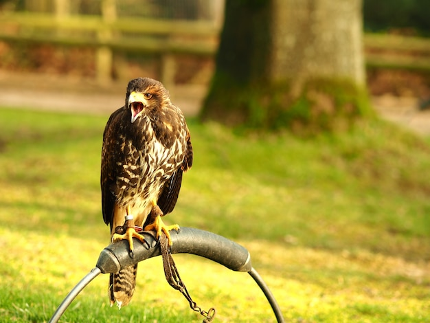 Black falcon sitting on a piece of metal behind a green field