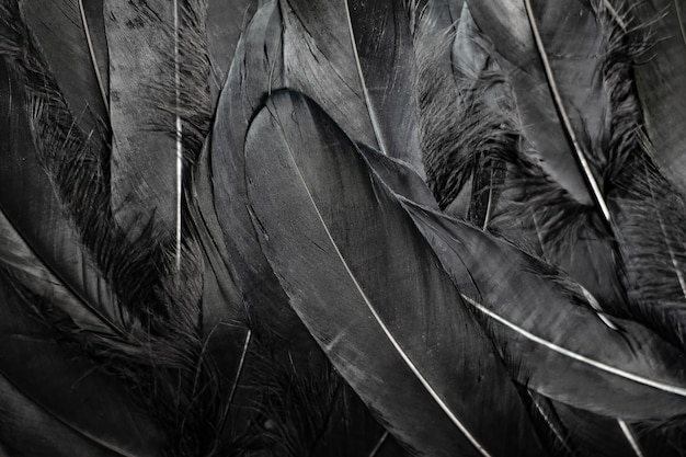 Black feathers background