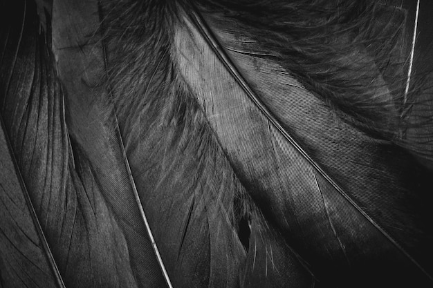 Black feathers texture backgrounds.