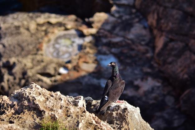 Black feral pigeon on the cliffs in malta