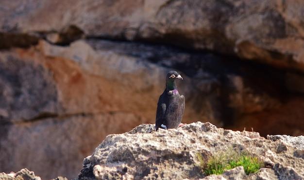 マルタの崖の上の黒いドバト