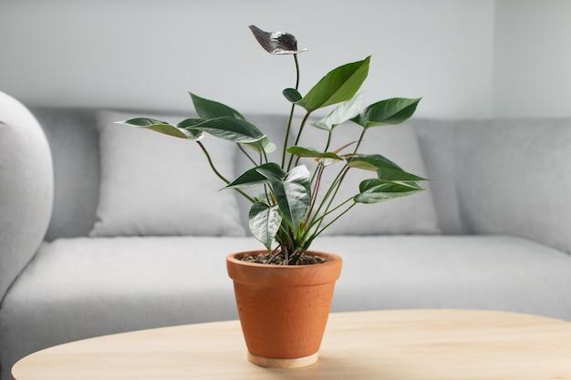 Черный цветок фламинго или anthurium andraeanum в глиняном горшке на деревянном столе в гостиной. установки для очистки воздуха в доме