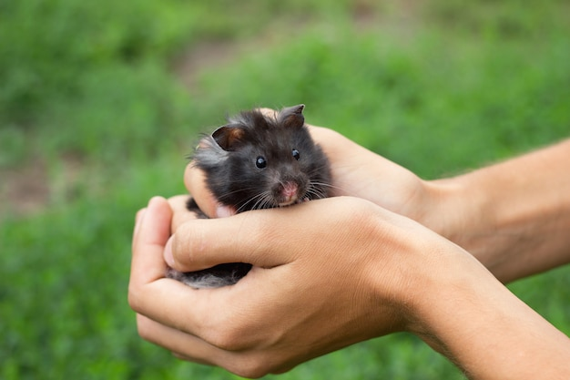 Black fluffy hamster in hand, on a beautiful background