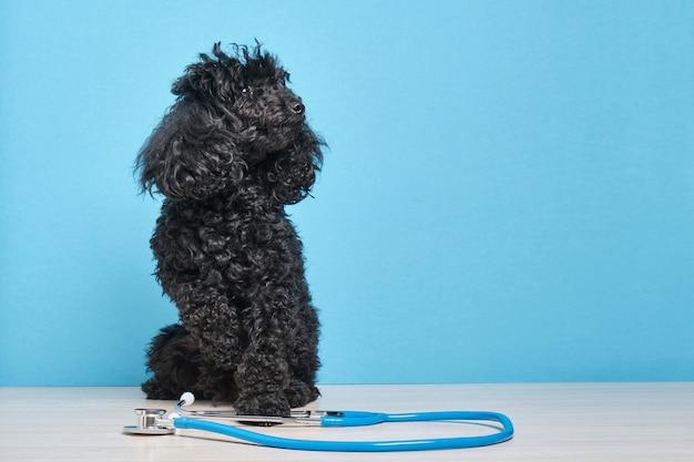 青い壁に黒いふわふわトイプードルと聴診器、犬は獣医クリニックのコピースペースのテーブルに座っています
