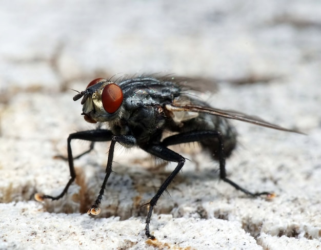 Black fly with red eyes on a white surface