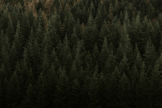 Black forest featuring coniferous evergreen trees