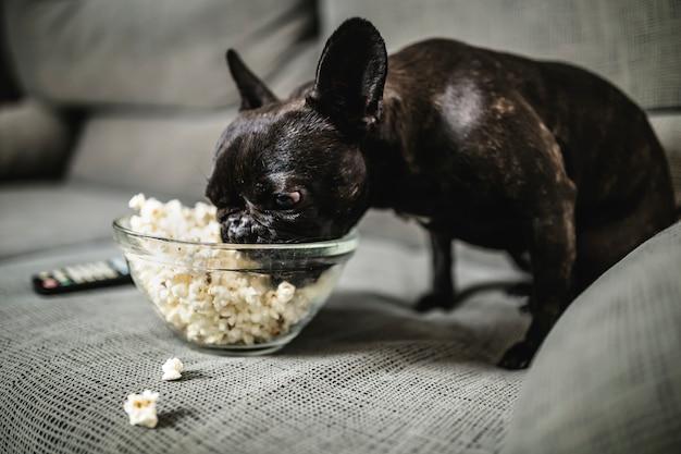 Black french bulldog eating popcorn on the sofa at home