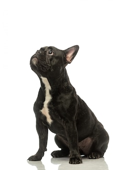 Black french bulldog . portrait of a dog.