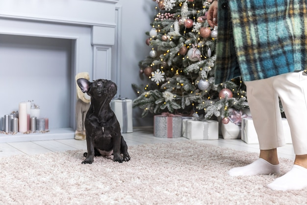 Black french bulldog sitting and being held by its owner. christmas wall