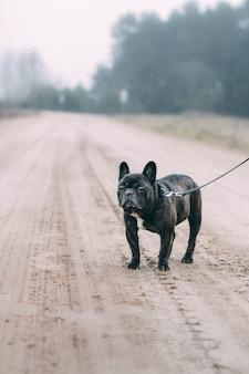 추운 날씨에 걷는 검은 프렌치 불독