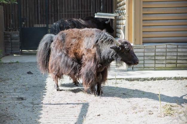 動物園の黒い毛皮のような雄牛