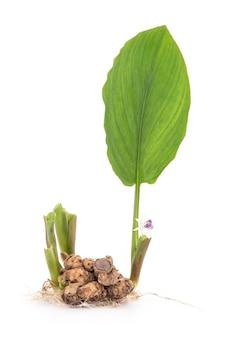 黒いガランガル根茎、白い表面に分離された花や木。
