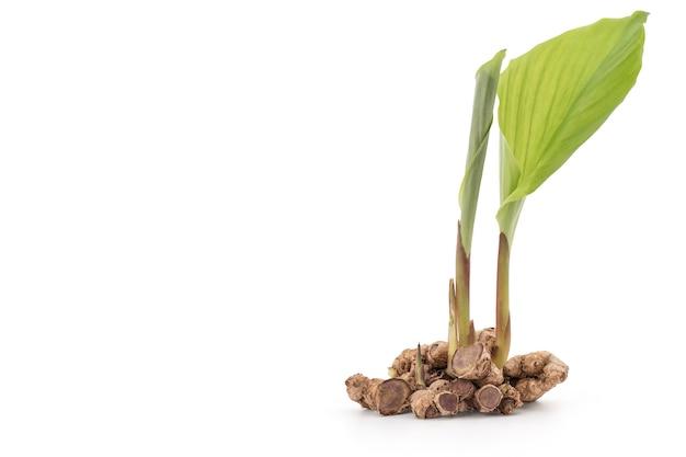 クリッピングパスで白い表面に分離された黒いガランガル根茎。