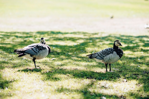 The black geese of the genus branta at park on grass in shadows of trees