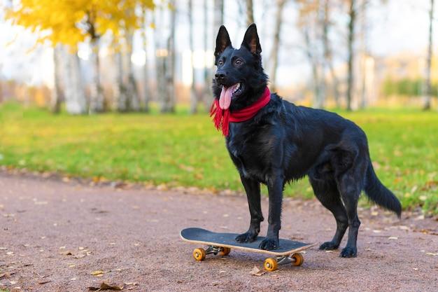 Black german shepherd on skate in autumn in the park