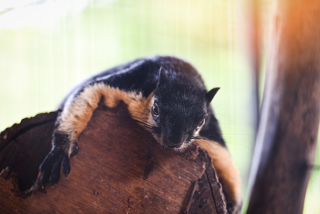 Black giant squirrel - malayan giant squirrel