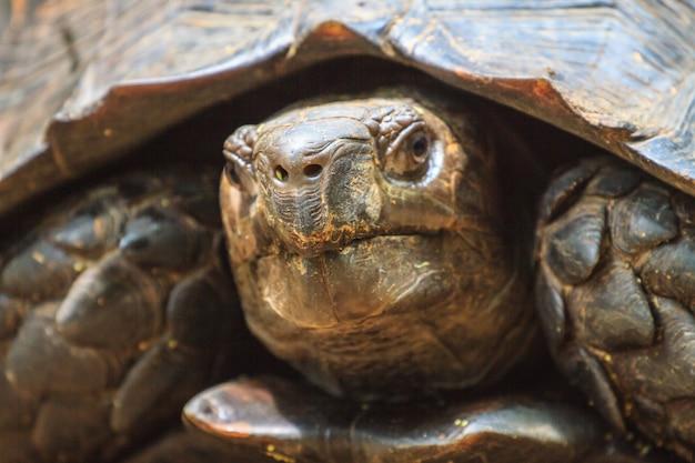 Black giant tortoise