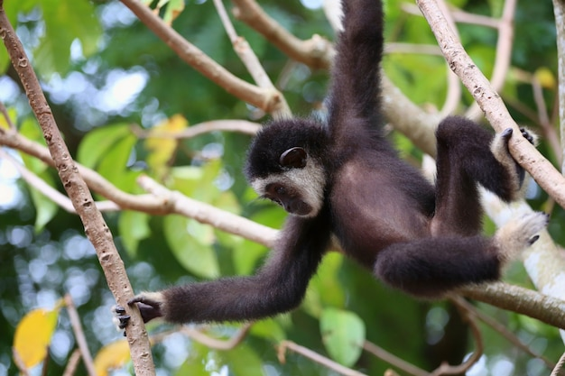 Black gibbon monkey on the tree and it was playing fun.