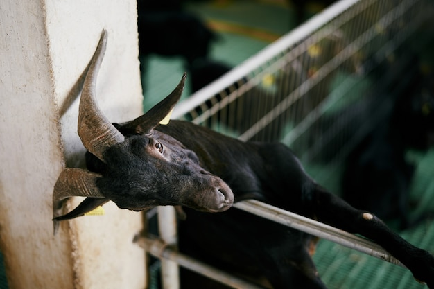 Black goat leaned against a fence resting on a pole on a indoor farm