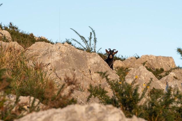 Черная коза на горном холме между скалами в кантабрии на севере испании