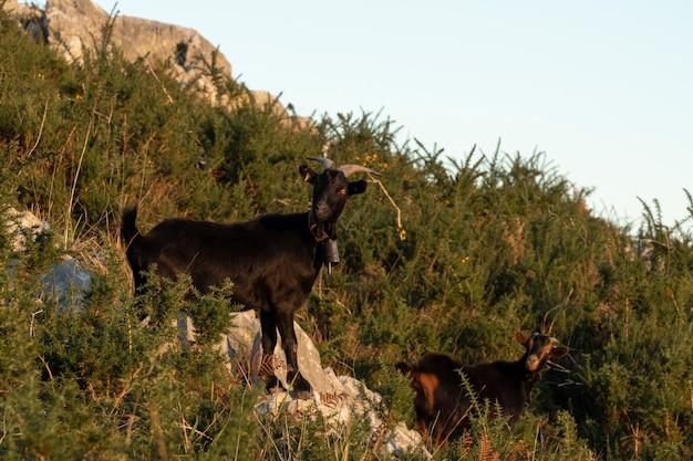 Черные козы едят и отдыхают на горном холме в кантабрии на севере испании