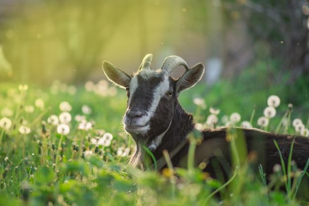 屋外の草を食べる黒ヤギ。黒の美しいかわいい山羊