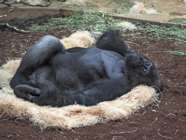동물원에 누워 있는 블랙 고릴라