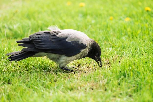 Черная серая ворона на зеленой лужайке