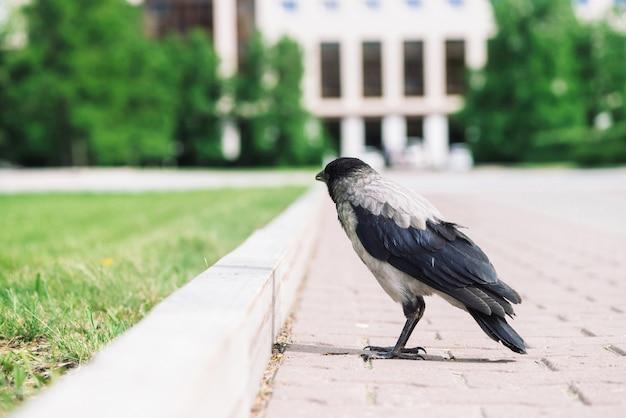 Black gray crow on sidewalk on background of city building in bokeh