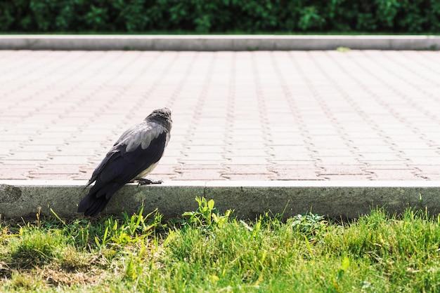 Черная серая ворона ходит по границе возле тротуара на фоне зеленой травы