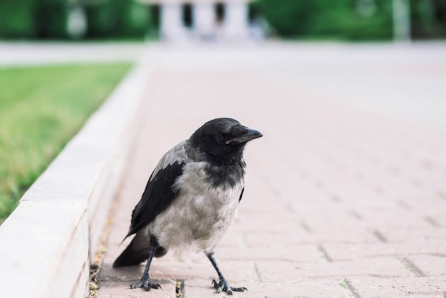 Black gray crow walks on sidewalk on background of city building in bokeh