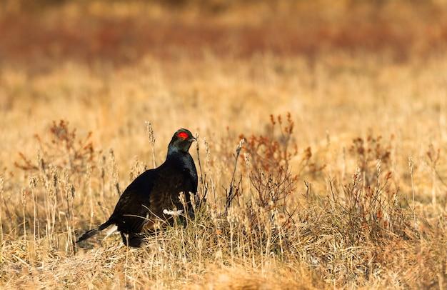 Black grouse - tetrao tetrix - lek in norway