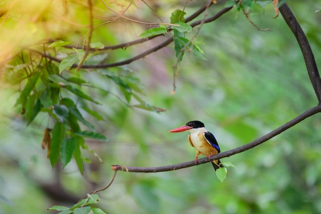 Black head kingfisher migrated to thailand. in the winter