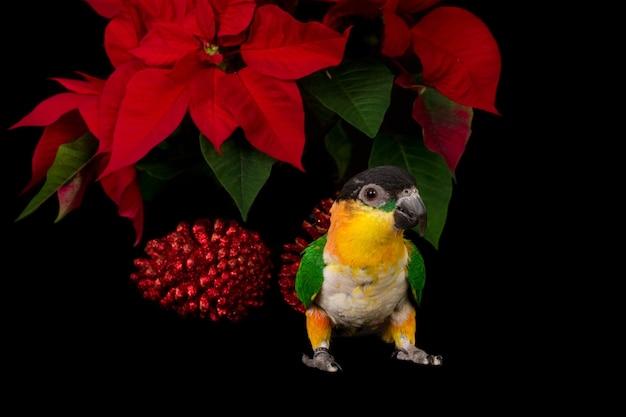 Черноголовая птица кайк перед рождественской звездой и красной сосновой шишкой