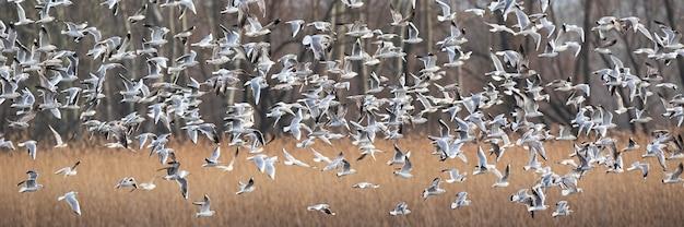 冬に乾燥した畑の上を飛ぶユリカモメ
