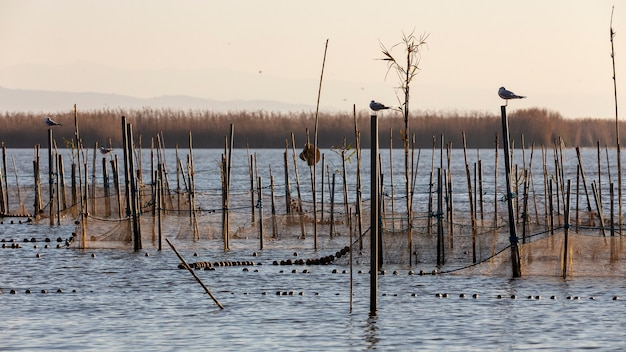 Black-headed gulls and sunset in albufera of valencia.