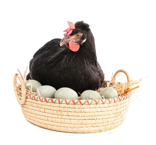 Black hen in a wicker basket with eggs isolated