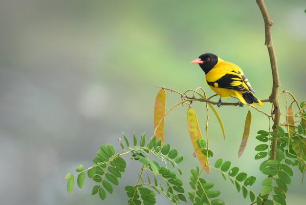 The black-hooded oriole is a member of the oriole family of passerine birds and is a resident breeder in tropical southern asia from india and sri lanka east to indonesia.