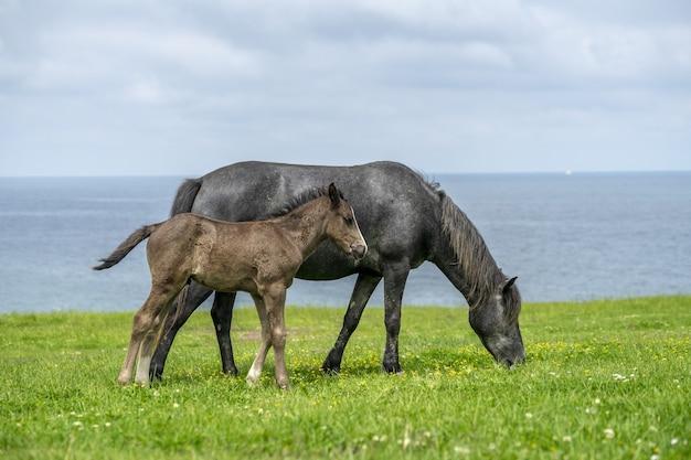 湖の近くの芝生の上を歩く黒い馬とその子馬