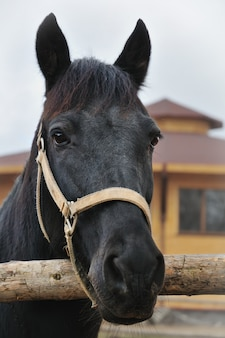 Black horse head portrait looking at camera
