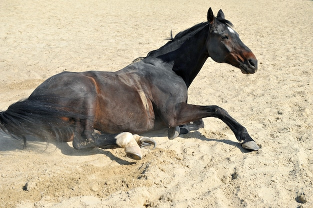 Black horse is lying on the sand
