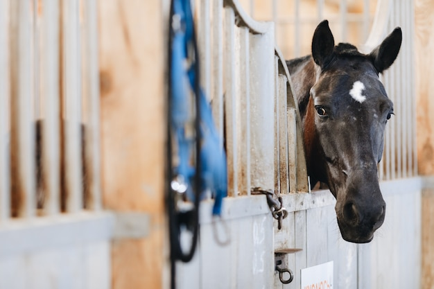 Black horse with a white spot on his forehead stares out the window of the stall
