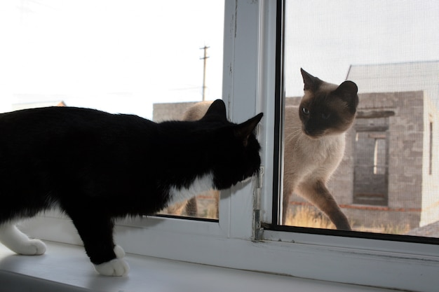 Black house cat and a siamese cat outside looking at each other